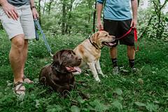 (HelloI'mJulia.) Tags: dogs lab labrador goldenlab chocolatelab dog puppy pup hike hiking hikingdog nature petportrait pet grass woods forest trees green 16mm xf16mm fuji fujifilm fujifilmxt2 xt2