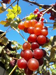 Last warm days - sunny berry (Sergey Bryuman) Tags: grapes autumn