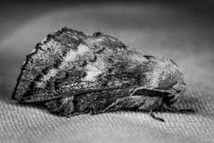 American Lappet Moth (mattbpics) Tags: ef100mmf28lmacroisusm canon 100 100mm moth insect lepidoptera americanlappetmoth 70d nature wildlife bw blackandwhite
