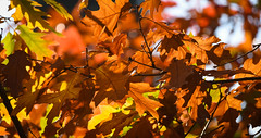 Fall Color (maytag97) Tags: maytag97 nikon d750 tamron 150600 150 600 fall season leaf leaves tree branch sunlit sunlight back light lit nature natural limb detail background colorful beautiful autumn color red orange yellow bright seasonal forest abstract pattern decoration texture plant outdoor environment sunny flora vibrant foliage wallpaper backdrop