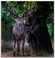 The Staring Game .... (KevinBJensen) Tags: stag antler deer north norfolk holkham animals nature rutting season paul keates risu