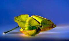 Goldenrain tree seed (kunstschieter) Tags: koelreuteriapaniculata zaad seed macro makro goldenraintree