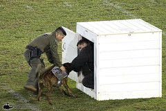0W3A8359_v1web (PhantomPhan1974 Photography) Tags: ocpca ocpca30thanniversaryk9show gloverstadium anahiem k9 police sheriff canine lawenforcement
