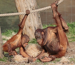 Orangutan Baju and Kawan Apenheul 094A0922 (j.a.kok) Tags: orangutan orangoetan orang ape apenheul animal aap mammal monkey mensaap primate primaat zoogdier dier kawan baju