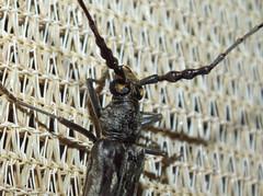 Cerambycidae Cerambycinae>Pachydissus Longicorn Beetle DSCF9464 (Bill & Mark Bell) Tags: geo:town=exmouth geo:state=westernaustralia geo:country=australia geo:lon=11425453egeolat2217752sgeoalt8m 11425453e2217752salt8m taxonomy:kingdom=animalia taxonomy:phylum=arthropoda taxonomy:class=insecta taxonomy:order=coleoptera taxonomy:family=cerambycidae taxonomy:subfamily=cerambycinae taxonomy:genus=pachydissus taxonomycommonnameeucalyptlongicornbeetle beetle