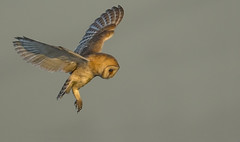 Barn Owl - The never ending search for food (Ann and Chris) Tags: avian amazing awesome adorable bird flying hovering gorgeous hunting hunt impressive owl barnowl stunning wildlife wild wings