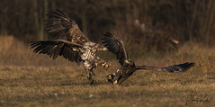 Under attack! (Jambo53 ()) Tags: timing whitetailedeagles eagle arend adelaar birdofprey raptors poland polen copyrightrobertkok action interaction gedrag behavioral talons klauwen wings landing
