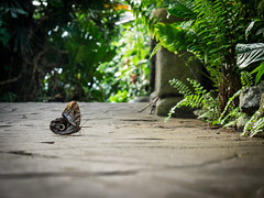 Giant Owl Butterfly (greg blaney) Tags: vcc butterflyworld alttuesday