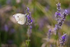 Butterfly (FrancescoPalmisano) Tags: ifttt 500px nature butterfly campagna erba farfalla flower grass lavanda lavender macro