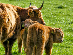 SF29 (tubblesnap) Tags: highland cattle cow cows coos calf calves hellifield beef cute farm birthday treat lightroom panasonic lumix furry cuddly yorkshire dales ginger