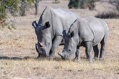 Safe for now (tmeallen) Tags: whiterhino squaredlippedrhinocerus ceratotheriumsimum southernwhiterhino mother calf babyrhino sidebyside grazing driedgrasses safari travel earlymorning mabulaprivategamereserve limpopoprovince southafrica neartreatenedspecies