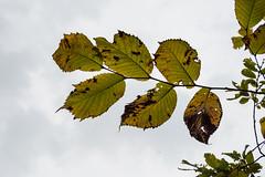 Pflanzen und Pilze / Plants and mushrooms (jaaserud13) Tags: gais herbst jaa nikond500 pflanzen pilz stoss walderlebnisraum
