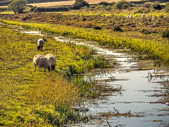 Sheep (niloc's pic's) Tags: sheep river stream grass fields combevalley bexhillonsea eastsussex panasonic lumix dmcgh4r