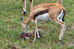 cleaning the newborn (ucumari photography) Tags: ucumariphotography thomsonsgazelle animal mammal richmond virginia va zoo october 2018 eudorcasthomsonii newborn calf dsc0194