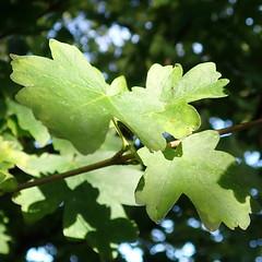 Still green (Landanna) Tags: leafs green fallingintoautumn fall farverafefterår efterår efterårsfarve autumn autumncolours herfst herfstkleuren