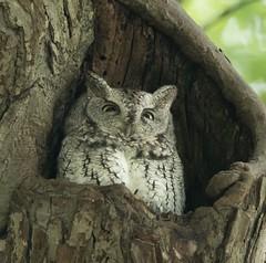 First Eastern Grey Screech of the season (amyerb1967) Tags: nikonusa roosting predator easterngreyscreech newengland owls screech