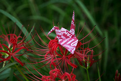 Paper Crane and Red Spider Lily (Eridanus 21) Tags: paper crane red spider lilyツルとヒガンバナ lily origami 折り鶴 おりがみ ツル 折り紙 ヒガンバナ origamiphoto 花 flower flowerphotoヒガンバナ redspiderlily papercrane 花写真 flowerphoto 花が好き
