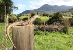 Major Skink (Mitch Thorburn) Tags: major skink bellatorias frerei gold coast springbrook national park