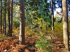 Westlynn woods (walneylad) Tags: westlynn northvancouver britishcolumbia canada october fall autumn sun bluesky colour color yellow green brown orange red leaves branches trees ferns woods woodland suburbs suburbia neighborhood nature view scenery