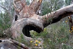 20181014-25-Three Capes Track day 3 - Burnt tree trunk (Roger T Wong) Tags: 2018 australia np nationalpark rogertwong sel24105g sony24105 sonya7iii sonyalpha7iii sonyfe24105mmf4goss sonyilce7m3 tasmannationalpark tasmanpeninsula tasmania threecapestrack bushwalk hike outdoors tramp tree trek walk