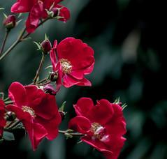 Red Bush Rose,s. (Omygodtom) Tags: flower flickr red rose shade macro bokeh bright nikkor natural nikon outside autumn art nikon70300mmvrlens d7100 usgs october flora