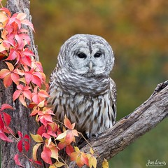 Barred Owl (jklewis4) Tags: fall autumn barredowl raptor owl birdsofprey howell michigan