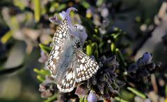 Pyrgus communis (TJ Gehling) Tags: insect lepidoptera butterfly hesperiidae skipper skipperbutterfly checkeredskipper commoncheckeredskipper pyrgus pyrguscommunis elcerrito