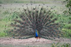 Sri Lanka   Peacock (Nicholas Olesen Photography) Tags: sri lanka asia horizontal outdoors travel yala national park bird peacock feathers animal wildlife nature tail colors colorful colourful nikon d90