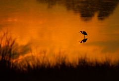 Sunrise on the marsh (nikunj.m.patel) Tags: heron sunrise nature wild wildlife outdoors beauty birds bird nikon