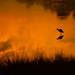 Sunrise on the marsh (nikunj.m.patel) Tags: heron sunrise nature wild wildlife outdoors beauty birds bird nikon