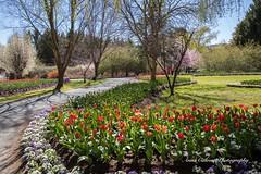 Tulip Top Garden (Anna Calvert Photography) Tags: bulbs bywong display flowers garden landscape nature outdoors petals plants tuliptop tuliptopgardens blossoms canberra australia tulips