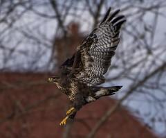 Buzzard in Flight-6 (tiger3663) Tags: buzzard yorkshire wildlife park flight