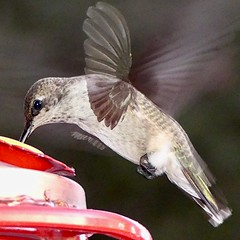 "Black-chinned Hummingbird in Ramona, California on September 27, 2018 (Ramona Pioneer Girl) Tags: red feeder birdinflight bird hummingbird blackchinnedhummingbird blackchinned 500 views panasonic lumix camera photograph photography lens f28 picture pictures kodak ""kodak moment"" kodakmoment potd photo day trend trending current flickr nature natural moment moments candid usa 2018 water sky street historic town country east county clouds sun fun hobby interest interests ramona california photooftheday photographs fz300"