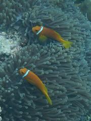 Finding Nemo: the Maldives Anemonefish (omnia2070) Tags: the maldives south male atoll coral anemonefish anemone orange white stripe finding nemo indian ocean sea