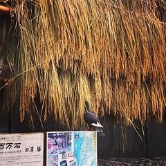 ハトがお米食べてる #お米 #稲 #ハト #銀座 (yosshi1202) Tags: ifttt instagram