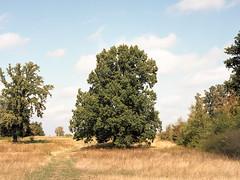 181003_img850 (SephRademakers) Tags: bronicazenzaetrsi bronica zenzanonpe75 120mmfilm film kodakportra160 kodak maastricht limburg zuidlimburg thenetherlands oaktree oak tree autumn grasses