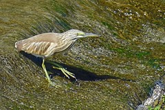 Squacco heron (Ardeola ralloides) (Sky and Yak) Tags: squacco heron ardeola ralloides squaccoheron ardeolaralloides fishing fish catch nature naturalworld bird spain oliva valencia
