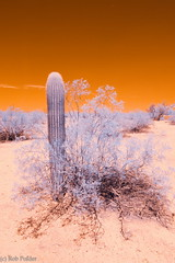 lighter (robpolder) Tags: 2018 southwest arizona infrared fullspectrum cactus desert nikon