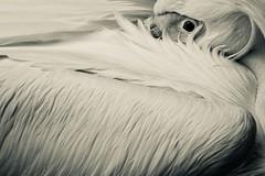 wrapped (claudia 222) Tags: pelican bird bw artis feather leitz dream apotelytr 134180 amsterdam zoo