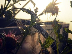 Every morning starts a new page of our life story (undefinable moods) Tags: spiderweb sunrise early sun morning light shadow flowers colors sunflower autumn fall herbst sonnenblumen sonnenaufgang spinnennetz life story day new page moody