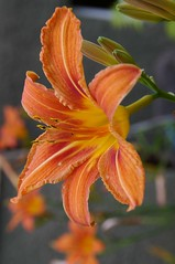 A flower macro of a Daylily. (Bienenwabe) Tags: flower macro flowermacro lily daylily taglilie hemerocallis hemerocallisfulvaar hemerocallidoideae
