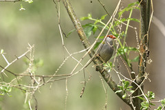 Red-browed Finch (Arcus Cloud) Tags: bird birds birdwatching birdspotting birdphotography birding australia australianwildlife australianbirds animal nature nsw naturalworld naturewatcher natural wildlife wildlifephotography wildlifephoto wildlifeandnature wild