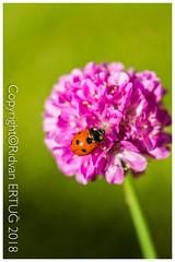 "Close up of a Ladybird ( 7 - spot ) on ""armeria - ballerina lilac"" / Coccinella septempuctata (R ERTUG) Tags: nikond610fx nikon60mmf28 macro rertug ""nikonflickraward"" ertug ladybird coccinellaseptempuctata"