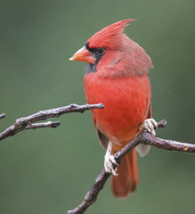 My Head Turns This Far! (Yer Photo Xpression) Tags: 2018 animal bird forsyth georgia ivyshaw northerncardinal places ronmayhew canoneos6dmarkii red
