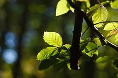 Into the forest (Håkan Dahlström) Tags: 2018 forest green leaf nature photography skåne sweden tornahällestad skånelän canoneos5dmarkii f28 1125sek ef85mmf18usm cropped 1507102018124234 lundno se