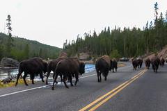 2018-09-trip-3-yellowstone-4-wildlife-mjl-29 (Mike Legeros) Tags: wyoming yellowstone nationalpark bison bisonjam buffaloroam