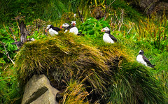 Puffins at Black Beach Reynisdrangar - Vik Iceland (mbell1975) Tags: southernregion iceland is puffins black beach reynisdrangar vik island ísland icelandic bird birds puffin