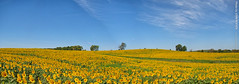 Sunflowers at Grinter Farms (Pano), 5 Sept 2017 (photography.by.ROEVER) Tags: grinterfarms sunflower sunflowers sunflowerfield sunflowerfields kansas leavenworthcounty landscape flower flowers wildflower wildflowers 2017 september september2017 morning bluesky blueskies color colour colors colours nature usa pano panorama panoramic autostitch