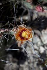 2015 - Texas (Mark Bayes Photography) Tags: bigbendnationalpark texas usa unitedstates chihuahuandesert brewstercounty nationalparkservice americannationalpark westtexas borderingmexico park cacti cactus flower orange