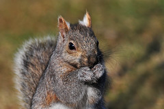 SquirrelPraying1 (Rich Mayer Photography) Tags: animal animals squirrel rodent pray praying mammal mammals nikon